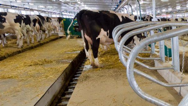 DairyFarming Tie Stall Barn 2 tcm11 14303